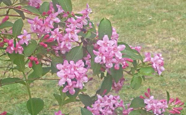 Bienen- und Hummel-Video bei der Futtersuche / dem Nektarschlürfen an einer rosa blühenden Weigelie von K.D. Michaelis