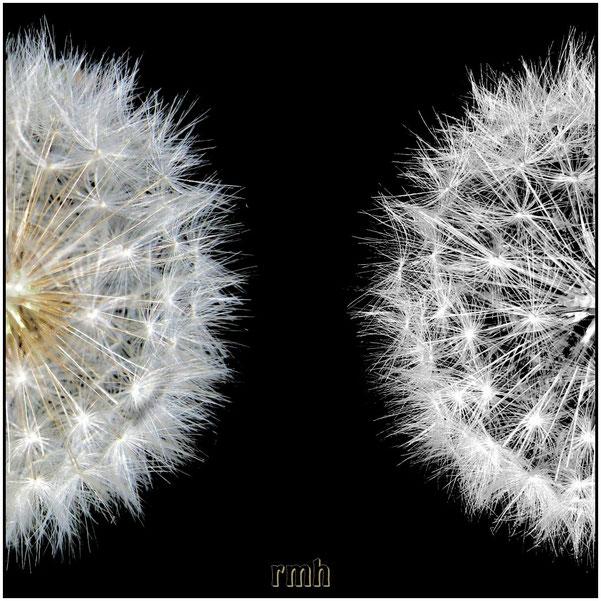 dandelion twins