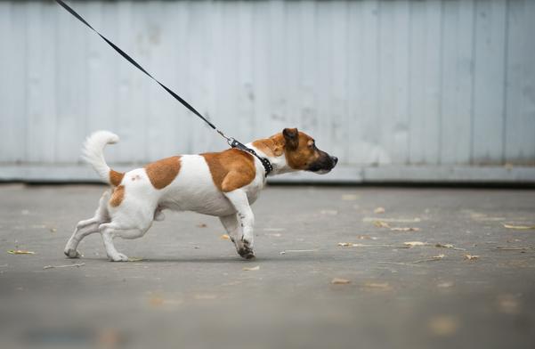 Kleiner Hund zieht an der Leine