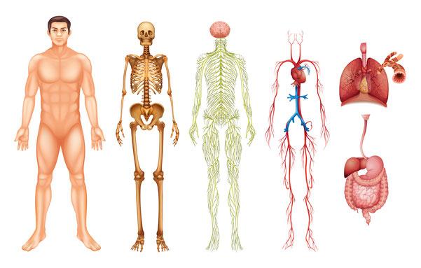Der Körper besteht aus vielen einzelnen Systemen, die jedoch nur Zusammen funktionieren.