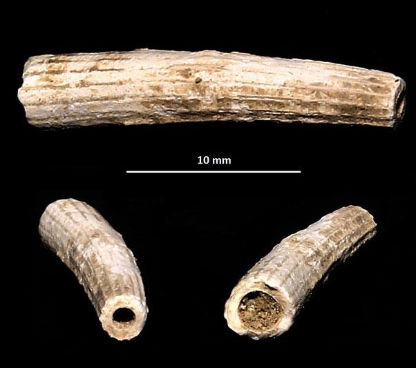 Dentalium cfr. inaequicostatum, dintorni dell'Ara della Regina (Tarquinia, VT)