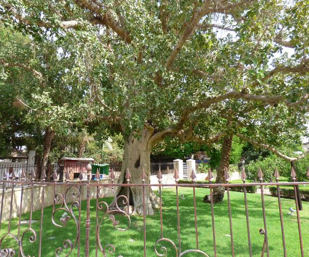Zacchaeus sycomore tree in Russian Orthodox Church Mission territory