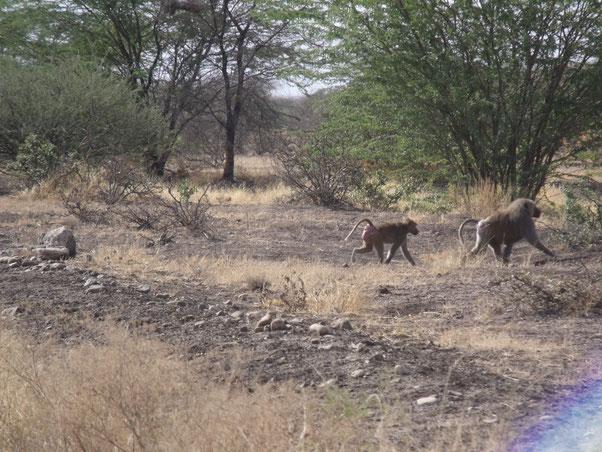 babouins ou culs-rouges (cynocéphales)