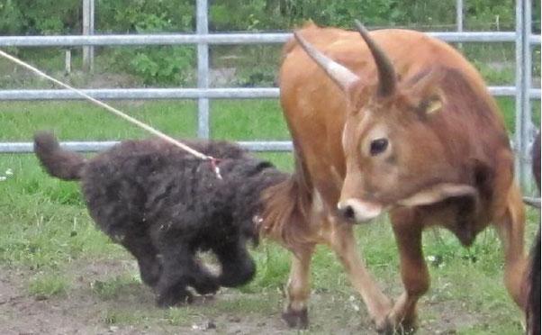 Bouvier des Flandres bei der Treibarbeit an Rindern, hier beim Fersenbiss bei einem Jundbullen, Achtung die Rinder treten auch aus!