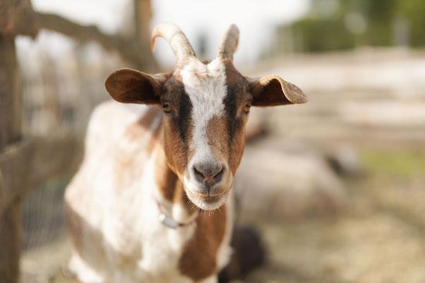 Ziegen, Schafe, Kühe, Schweine und noch so einige tummeln sich am Pferdegnadenhof.