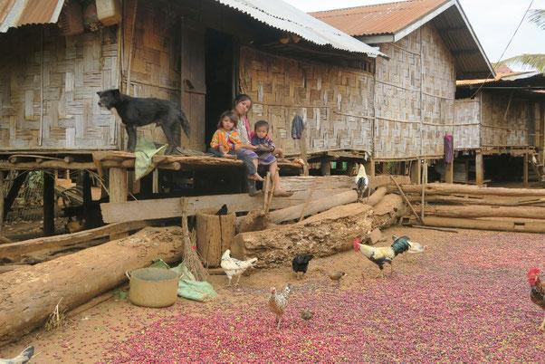 Les grains de café sèchent au soleil