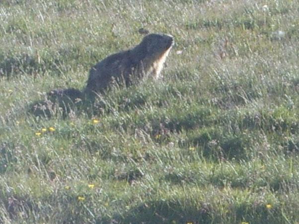Marmotte ovunque