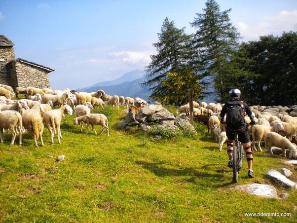un miliardo di pecore bloccano il passaggio