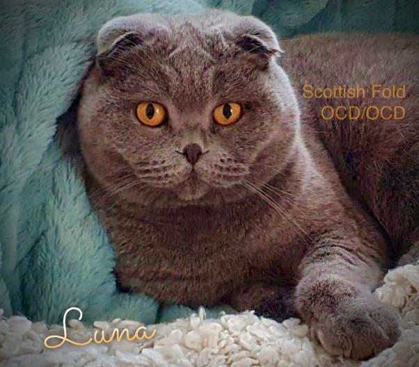 Scottish Fold Katze Luna, Genotyp OCD/OCD, homozygot für die Erkrankheit Osteochondrodysplasie OCD, Foto: Janina, 2021