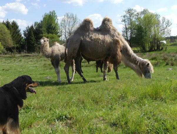 Nur einen Moment Kamele gucken!