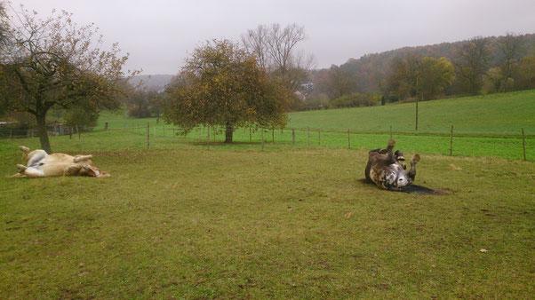 Rudelwälzen auf der Winterweide