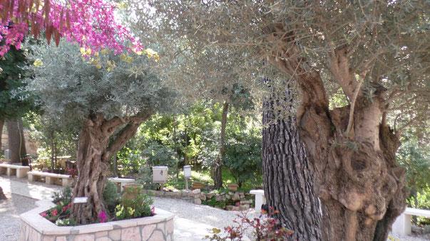 Оливы в саду