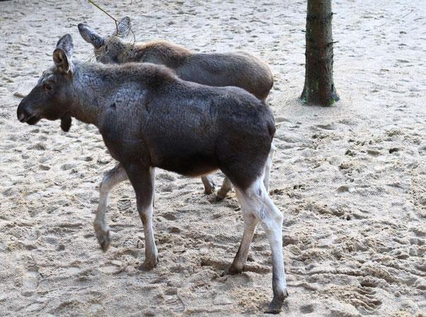 Zwei der fünf jungen Elche im dänischen Naturschutzgebiet Lille Vildmose. Foto: VisitDenmark/PR