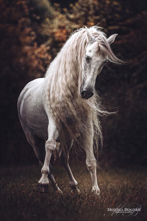 Pferdefotografie, Lusitano, Schimmel