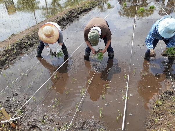 春の田植えの様子。稲が育っていくと歩ける幅も狭まり、さらに歩きにくくなる。