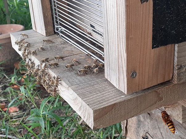 ゲートと門番が守る正面入り口を諦め、脇の隙間を狙うキイロスズメバチ(右下)。ミツバチよりこんなに大きい。