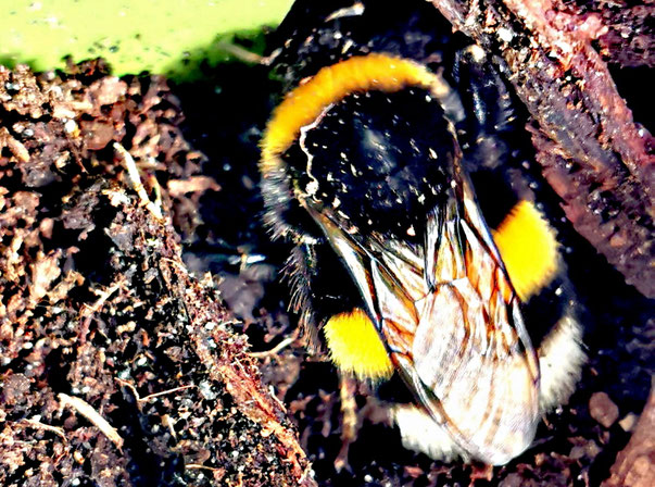 Video: Hummelkönigin beim Nestbau von Marc Wettering zur Verfügung gestellt für Bienen-Blog von K.D. Michaelis
