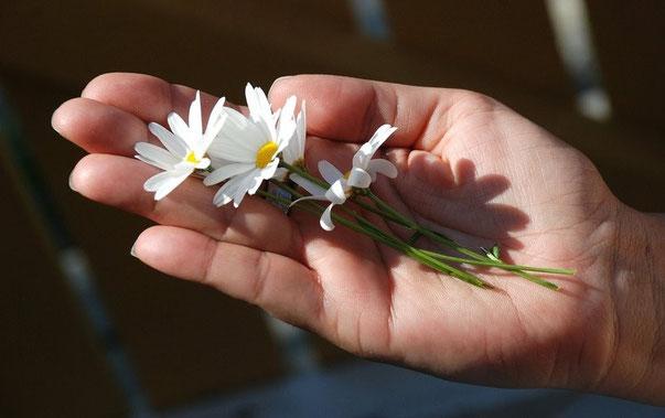 Kräuter im Garten Gänseblümchen