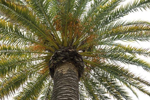 Le palmier était très utilisé aux temps bibliques par les Israélites dans le désert. Dans le palmier dattier, tout est utile ! D'après les populations oasiennes il aurait 130 usages différents ! Le palmier vient de l'hébreu TAMAR.
