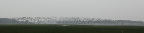 Eine Wolke mit Tausenden von Wildgänsen in der Jader Marsch