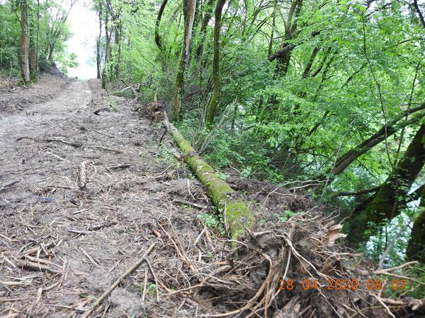 Destruction des arbres, habitats, biodiversité, rive gauche du Gave d'Aspe à Bidos.