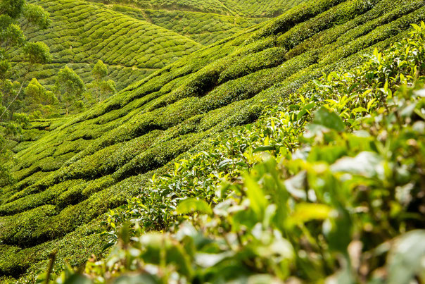 Gyokuro Teeplantage