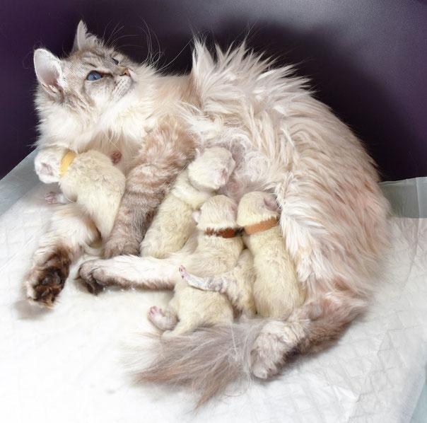 Bébés chats sibériens