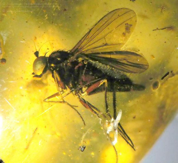 Инклюзы в янтаре:  Dip., Dolichopodidae