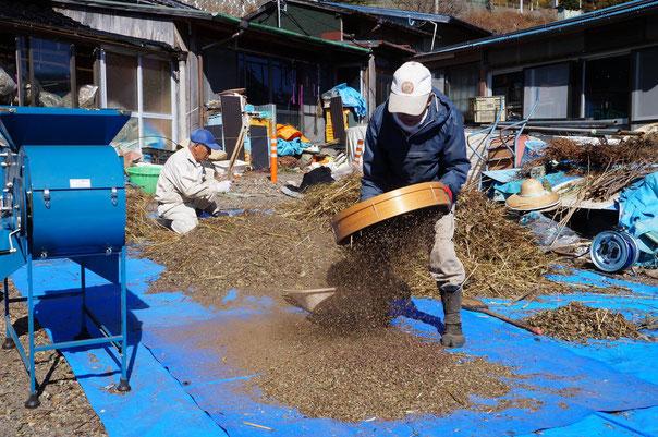 下栗蕎麦の収穫