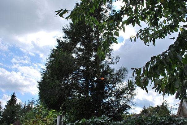 Die alten Bäume werden gefällt...