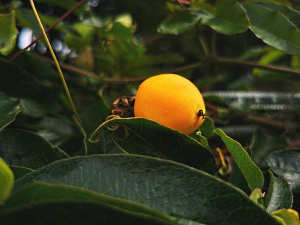 Mini-Maracuja. Frucht an einer winterharten Passionsblumenwand in Hannover Ende August von K.D. Michaelis