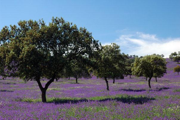 Steineichendehesa mit blühendem Natternkopf in der Extremadura