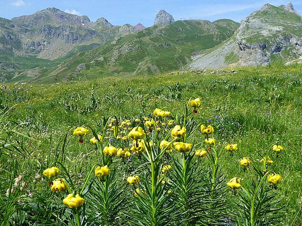 Hochgebirgswiese in den Pyrenäen mit Gelber Pyrenäenlilie