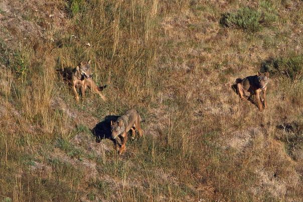 Wölfe im Kantabrischen Gebirge