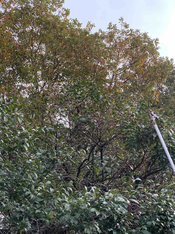 森の中、高枝切り鋏を使って何かを収穫するおじさん。