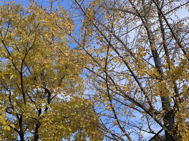 隣にある銀杏の黄色も美しいが、葉は早く落ちてしまっている。
