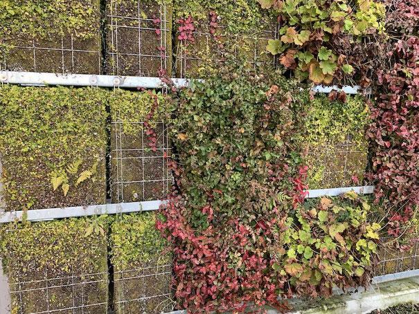 壁面緑化の赤い植物はハツユキカズラ!?そして、ヒューケラ、プミラと苔マットで構成されている