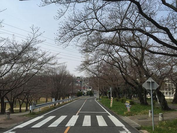 雨池公園の桜並木。まだ咲いているものはありませんでした。