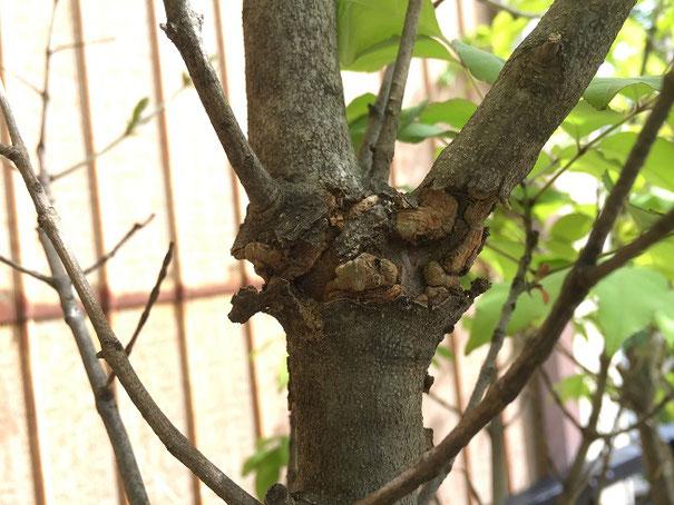 アオダモの枝分かれしている部分がこぶになっている。