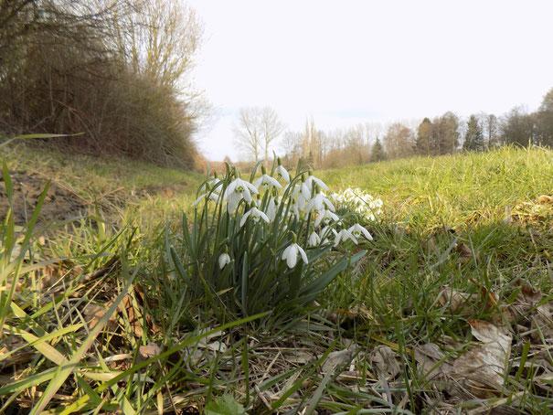 Der Schnee ist den ersten Sonnenstrahlen gewichen. Schneeglöckchen in voller Blüte.