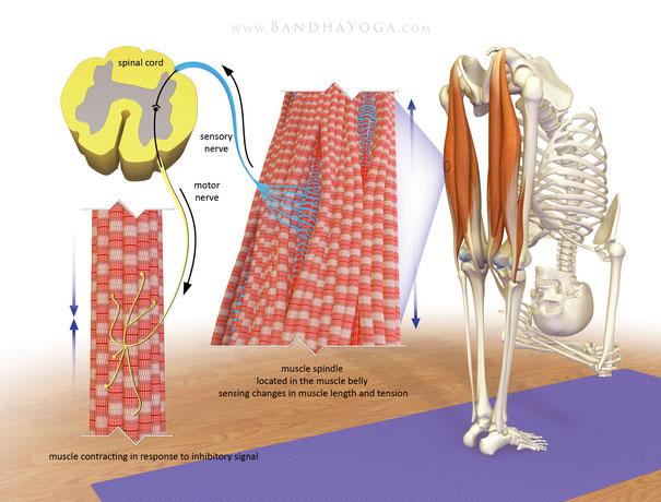 Aufbau eines Muskels