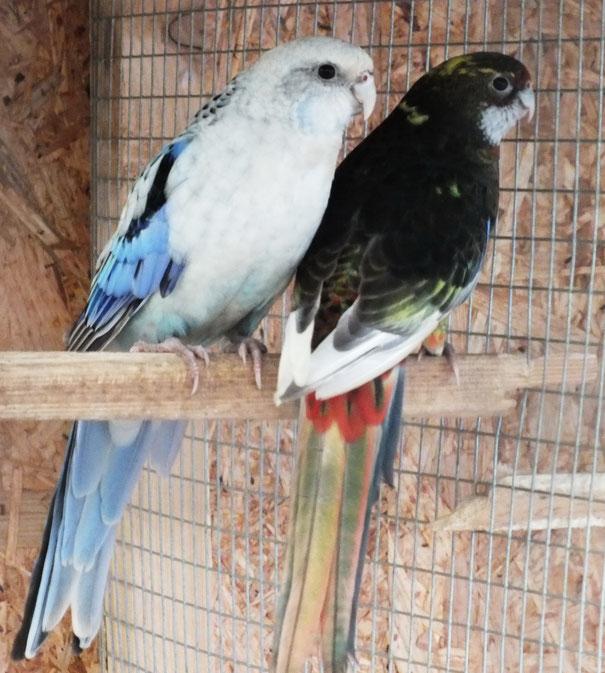 Blau spalt schwarz-pastell (über Schecke gezogen)  x  Schwarzopalinweissflügelschecke (  Henne noch nicht ausgefärbt)