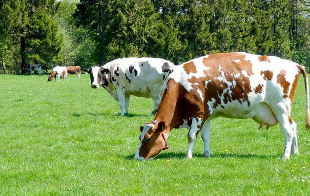 Kühe Weidehaltung