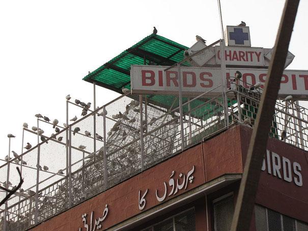 Le vœu de non violence (ahimsâ) va jusqu'à interdire la viande, le poisson, les œufs, toutes les plantes qui poussent sous la terre car on pourrait faire mal aux petites créatures qui vivent sous la terre. Hopital pour les oiseaux à New-Delhi.