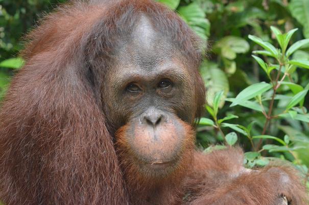 Mamat, der Papa, ®Sintang Orangutancenter
