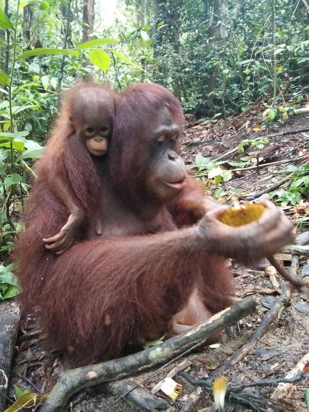 Tanjung und ihr Baby Liesje, ®Sintang Orangutancenter