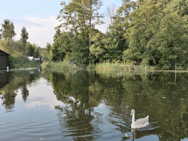 Schwan, Drewensee, Alte Havel, Urlaub