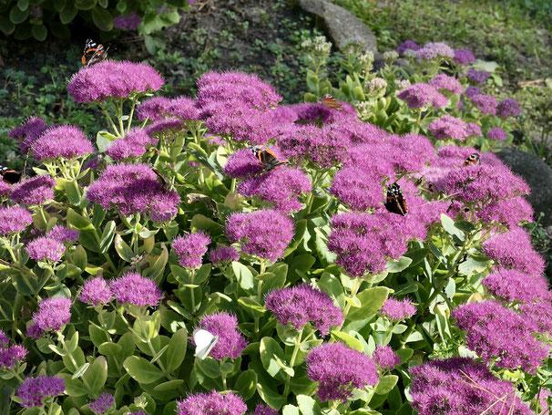 Schmetterlinge, Fette Henne