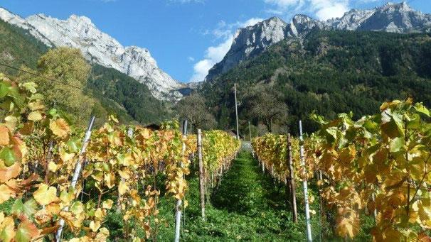 Goldener Herbst im Rebberg Buchholz Silenen