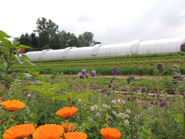 Blühstreifen im Vordergrund. Ebenfalls zu sehen ist Ackerland und im Hintergrund ein Folientunnel über die gesamte Breite.